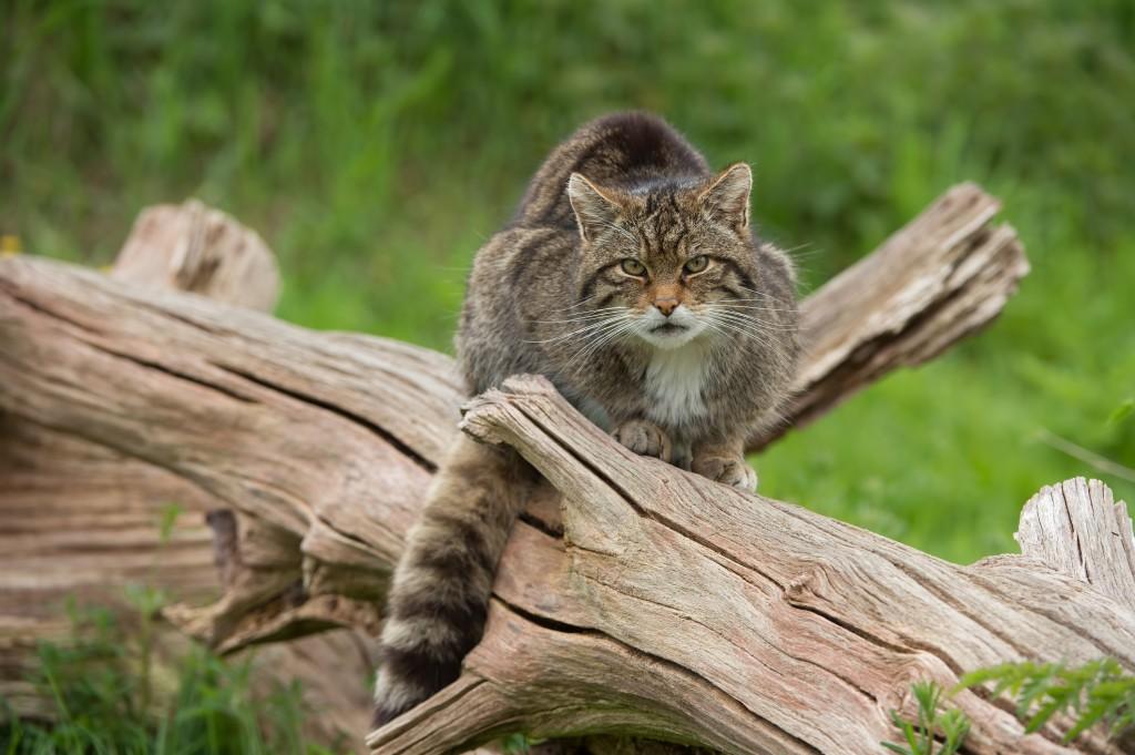 Highland wildcat sitting on a log